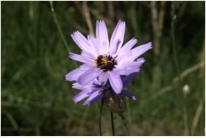 La-Cerverina-Catanache-caerulea