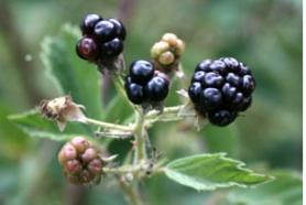 La-Mora-Rubus-ulmifolius