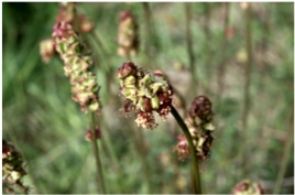 La-Pimpinella-Sanguisorba-minor