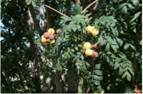 La-Serva-Sorbus-domestica