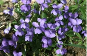 La-Viola-Viola-sp