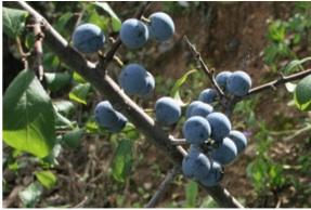 LAranyó-Prunus-spinosa