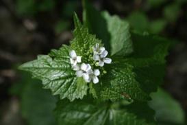 LHerba-dall-Alliaria-petiolata